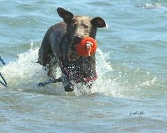 it's genetic! (Judecat (Sand between my toes )) Tags: dog canine ocean sea dogswimming labradorretriever silverlabradorretriever wildwood beach pearl retrieving