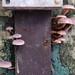 Makunda Fungi-34 - Gymnopilus purpureosquammulosus