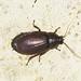 Makunda Insects-7983 - Diploptera punctata
