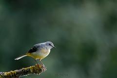 Motacilla cinerea - Bergeronnette des ruisseaux (Glc PHOTOs) Tags: glc1248 d850 nikon tamron sp 150600 g2 tcx14 bergeronette des ruisseaux motacilla cinerea bergeronnette