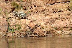 Watching the boat go by... (SusieMSB7) Tags: landscape water river raptors birds grandcanyon
