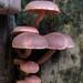 Makunda Fungi-35 - Gymnopilus purpureosquammulosus
