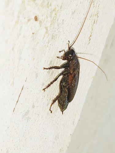 Makunda Insects-7982 - Diploptera punctata