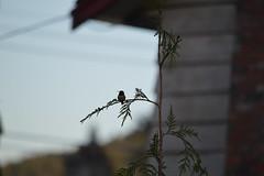 DSC_7672 (Primespot Photography) Tags: crofton bc britishcolumbia canada bird hummingbird flower flora flowerslilac pansy pansies blossom appleblossom