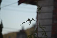 DSC_7673 (Primespot Photography) Tags: crofton bc britishcolumbia canada bird hummingbird flower flora flowerslilac pansy pansies blossom appleblossom
