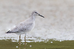 Red Knot, Eagle Creek Park, Indianapolis, Indiana.  August 31, 2019. (Ryan J Sanderson) Tags: 2 canon is ryan mark indianapolis iii indiana ii 600 l f4 sanderson 1dx 1dx2 1dxii park america creek kayak eagle united kayaking tc states 2x eaglecreekpark 2019 redknot 14x indianaaugust31