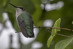 Ruby-throated hummingbird (Archilochus colubris) (octothorpe enthusiast) Tags: bird saskatoon saskatchewan archilochuscolubris rubythroatedhummingbird
