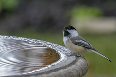 076A5225 chickadee at the bath (octothorpe enthusiast) Tags: bird saskatoon saskatchewan