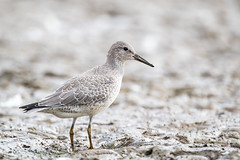 Red Knot, Eagle Creek Park, Indianapolis, Indiana.  August 31, 2019. (Ryan J Sanderson) Tags: indianapolis indiana unitedstatesofamerica ryan sanderson canon 1dx mark ii 2 1dx2 1dxii 600 f4 is l iii 14x tc 2x eagle creek park kayaking kayak united states america redknot eaglecreekpark indianaaugust31 2019