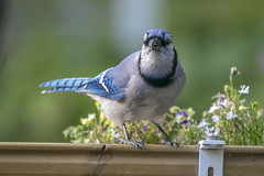 Blue jay is absolutely NOT stashing peanuts in the planters (octothorpe enthusiast) Tags: bird saskatoon saskatchewan bluejay cyanocittacristata