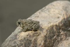 Toad on a rock (octothorpe enthusiast) Tags: bird saskatoon saskatchewan meewasin gabrieldumontpark