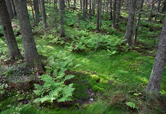 Fougère (sosivov) Tags: sweden skuleskogen nationalpark worldheritage forest fern landscape green trees