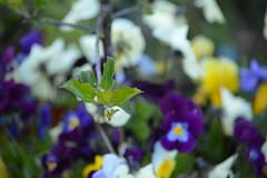 DSC_7677 (Primespot Photography) Tags: crofton bc britishcolumbia canada bird hummingbird flower flora flowerslilac pansy pansies blossom appleblossom