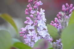 DSC_7674 (Primespot Photography) Tags: crofton bc britishcolumbia canada bird hummingbird flower flora flowerslilac pansy pansies blossom appleblossom