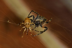 How Do You Wish To Die? (Robin Shepperson) Tags: spider weevil prey die deah predator web eyes captured berlin germany deutschland tamron 70300mm orbweaver fear terrifying scary legs red black yellow outisde night dark insect bug creepy arachnid macro closeup