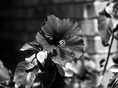 Monochrome Bloom (SnapRat200) Tags: olympus epl7 monochrome rokkor rokkor55mm17 mf blackandwhite vintagelens manualfocus