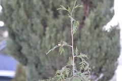 DSC_7670 (Primespot Photography) Tags: crofton bc britishcolumbia canada bird hummingbird flower flora flowerslilac pansy pansies blossom appleblossom