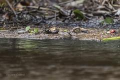 caïman noir (Melanosuchus niger) (vincent cabrol) Tags: wildlife wildlifephotography amazonia amazonie rainforest nature naturephotography guyane frenchguiana natgeowild animal herpetology herpeto herping tropicalherping herp reptile reptilian reptilia caïman crocodile canon canon6d