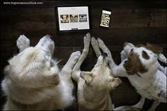 35-52:  internet hounds (Dave (www.thePhotonWhisperer.com)) Tags: dog dogversation book website instagram rescuedog goldenretriever brittanyspaniel