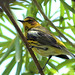 Cape May Warbler - Varadero, CU