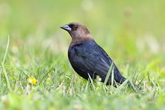 Brown-headed Cowbird (jt893x) Tags: 150600mm bird blackbird brownheadedcowbird cowbird d500 jt893x male molothrusater nikon nikond500 sigma sigma150600mmf563dgoshsms