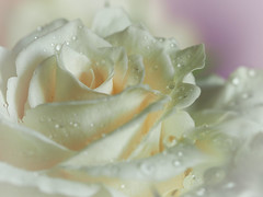 Softly Rose (Smiffy'37) Tags: rose cream flower art soft portrait waterdrops nature