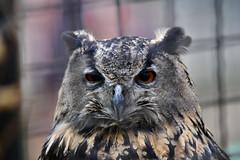 Uhu (marc.jo71) Tags: orte europa deutschland natur tiere sachsenanhalt veröffentlicht flickr vögel tierpark zoologischergarten gärten vorbereitet halberstadt uhu