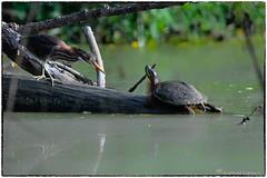 What are you doing on my turf? (RKop) Tags: greenheron cincinnati armlederpark raphaelkopanphotography d500 600mmf4evr