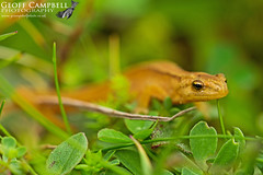 Smooth Newt (Lissotriton vulgaris) (gcampbellphoto) Tags: smoothnewt lissotritonvulgaris donegal amphibian ireland nature wildlife gcampbellphoto biodiversity