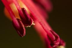 Extreme macro (Capturedbyhunter) Tags: fernando caçador marques fajarda coruche ribatejo santarém portugal pentax k5 macro extreme estames flower flor bokeh dof pentaxart