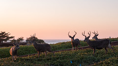 Sunset - August 31st (3 of 19) (Quentin Biles) Tags: ca california cybershot pacificgrove rx100 rx100vii sony buck deer sunset