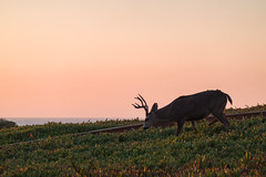 Sunset - August 31st (1 of 19) (Quentin Biles) Tags: ca california cybershot pacificgrove rx100 rx100vii sony buck deer sunset