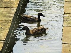 IMG_6146 (belight7) Tags: ducks birds waterway memorial garden stoke poges bucks uk england stokepoges