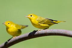 Yellow Warbler (X91_1635-1) (Eric SF) Tags: yellowwarbler warbler bird ardenwoodhistoricfarm fremont ca