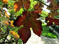 IMG_6149 (belight7) Tags: vine leaves grape stoke poges memorial garden bucks uk england stokepoges
