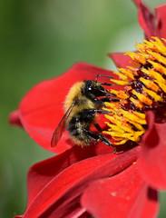 Bumble  Bee (MJ Harbey) Tags: honeybee eusocialflyinginsect insect apodae apinae canonsashby northamptonshire nationaltrust nikon d3300 nikond3300 dahlia pollen