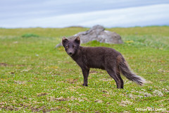 Surprise of the day (Desireevo) Tags: iceland ice ijsland island islands isafjordur hornstrandir nature reserve polar fox arctic arcticfox animal animals outdoors desireevanoeffelt wildlife wild landscape landschaft landscapes hiking hike holiday canon