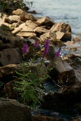 Blume am Ufer (Lutz Blohm) Tags: blumen blüten naturfoto wiesenblume rheinufer sonyfe24105mmf4goss sonyalpha7aiii