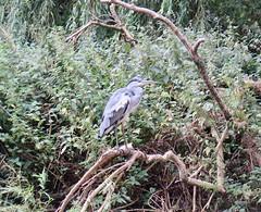 Heron (msganching) Tags: heron bird nature grandunioncanal leightonbuzzard walk timeout book1 walk41 swcwalks