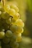 Grape (jeneizsu) Tags: autumn nature grape harvest buds rose fading redpepper garden macroshooting