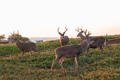 Sunset - August 31st (4 of 19) (Quentin Biles) Tags: ca california cybershot pacificgrove rx100 rx100vii sony buck deer sunset