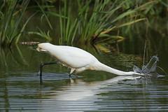Grande aigrette / Great Egret (alainmaire71) Tags: oiseau bird ardeidae ardeaalba grandeaigrette greategret nature quebec canada
