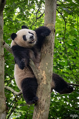 DAMN IT! (mzagerp) Tags: chine china yunnan gangxi sichuan beijing nature travel voyage travels voyages asia asie panda red roux chengdu animal fourrure bamboo foret