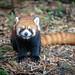 Smiling red panda