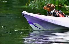 Miniture Dachshund (Jen Buckle) Tags: minituredachshund dachshund canoe riverstour river kayak jenbuckle jenbucklephotographsanything jenbucklephotographienimportequoi wwwflickrcompeoplejenbuckle nikon nikond7500 suffolk dedham stour