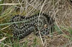 Female adder (farrertracy) Tags: adder adderfemale viperaberus spring reptile snake wildlife green brown grass