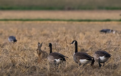 Can't I just sit here? (Jongejan) Tags: geese hare goose bird animal wildlife outdoor sunset nature