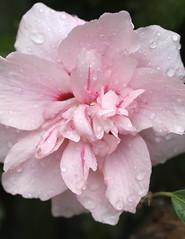 Rose of Sharon (Paul den Ouden) Tags: roseofsharon flowers floral flora pink macro rain powellriver britishcolumbia bc