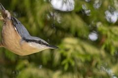 Nuthatch (Donna Joyce) Tags: nuthatch bird wildlife nature uk kent
