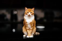 237-365 (Garen M.) Tags: buttercup chip ella jerry nikkor85mmf14 nikond850 sb910 bouncedflash cats home